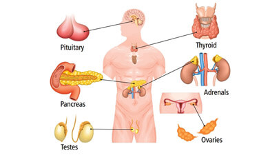 Parts Of Endocrine System - Human Body